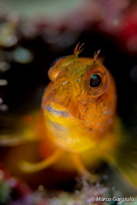 African Blenny, yellow fase by Marco Gargiulo